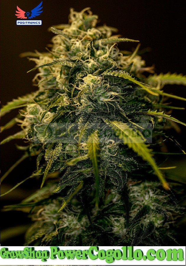 CBD+ Jack Diesel (Positronics Seeds) 0