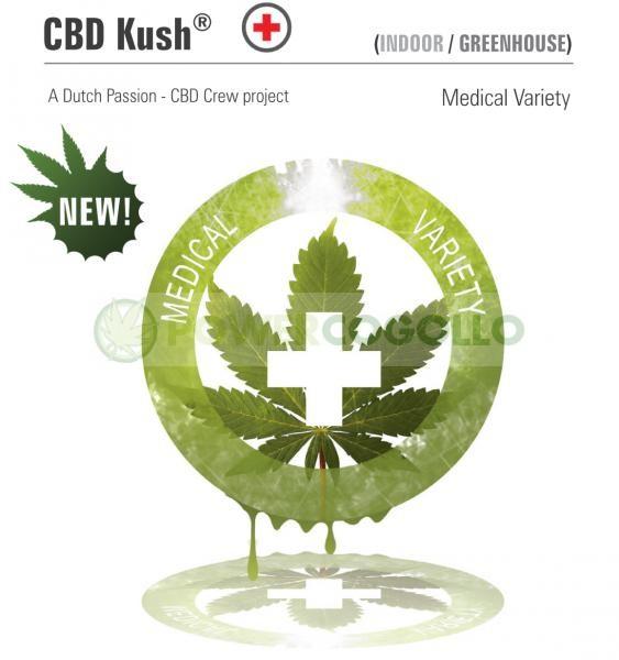 CBD Kush (Dutch Passion) Semilla Feminizada de Marihuana 0