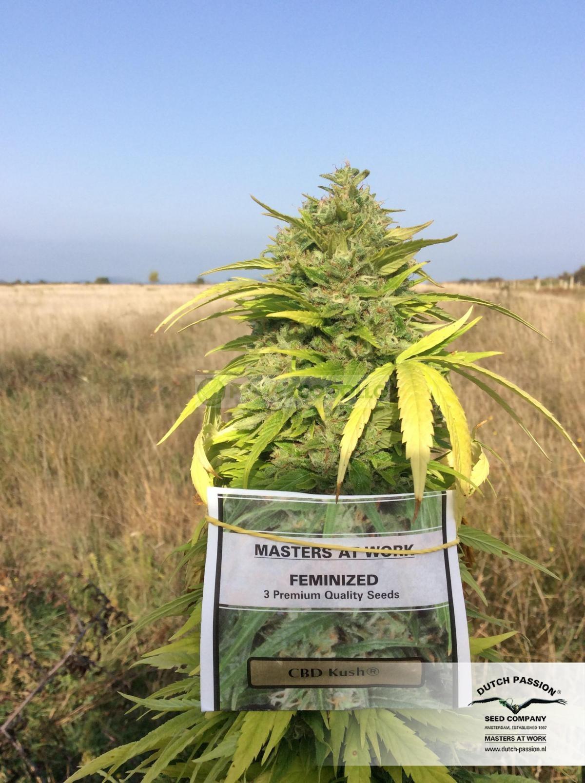 CBD Kush (Dutch Passion) Semilla Feminizada de Marihuana 1