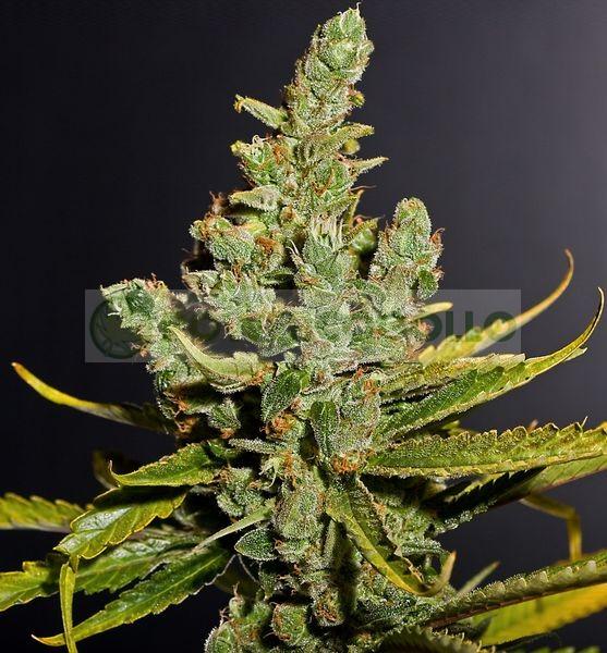 Semillas de marihuana Cheese de Dinafem 1005 Feminizadas 1