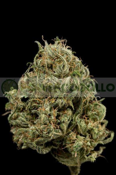 Semilla Feminizada Cheese XXL Autoflowering de Dinafem Seeds 0
