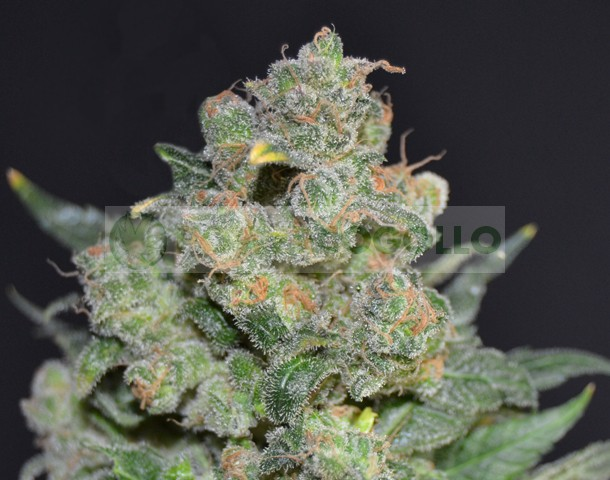 Cheese Feminizada de CBD Seeds Semillas de Cannabis 0