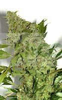Chronic Feminizada de Serious Seeds 0