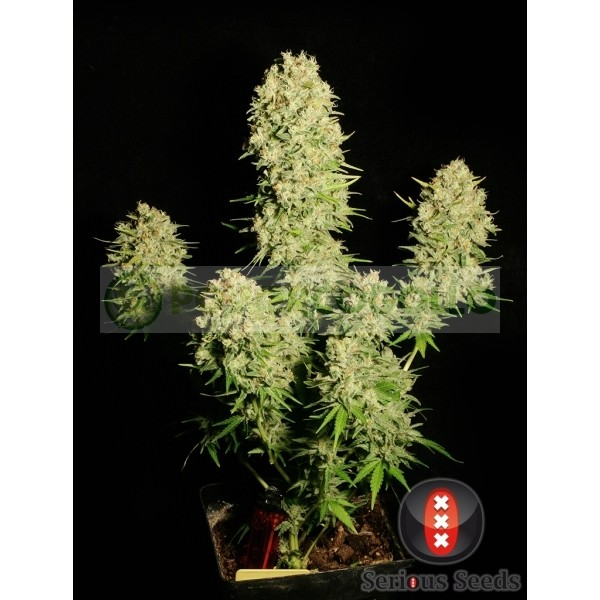 Chronic Feminizada de Serious Seeds 1