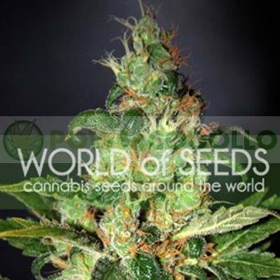 Chronic Haze (World of Seeds) Feminizada  1