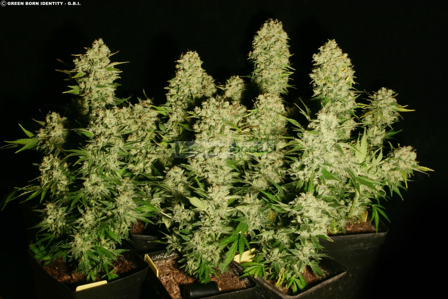 Chronic Regular (Seious Seeds) 1