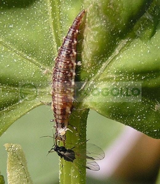 Chrysoperla (contra Pulgón lucha biológica para combatir plagas en el cultivo 1