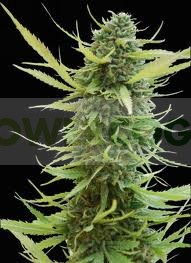 Colombian Gold (World of Seeds) Regular 0