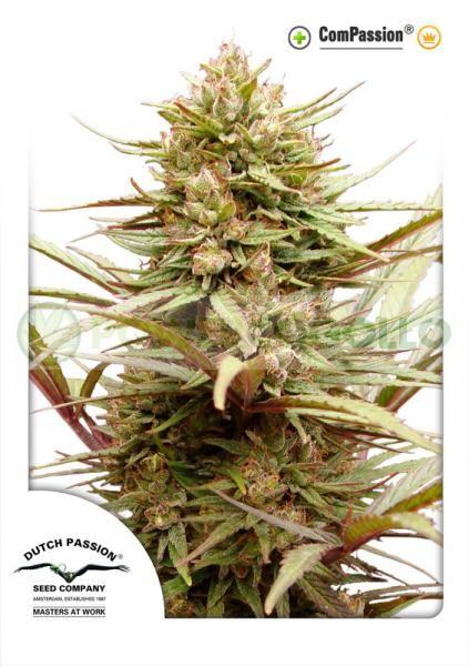 ComPassion (Dutch Passion) Semilla Feminizada de Cannabis 2