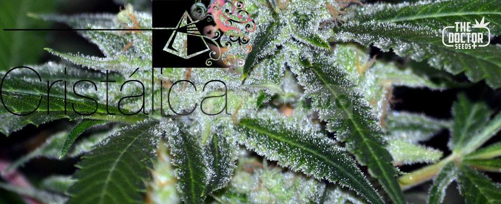 Cristalica Feminizada (The Doctor Seeds) 0