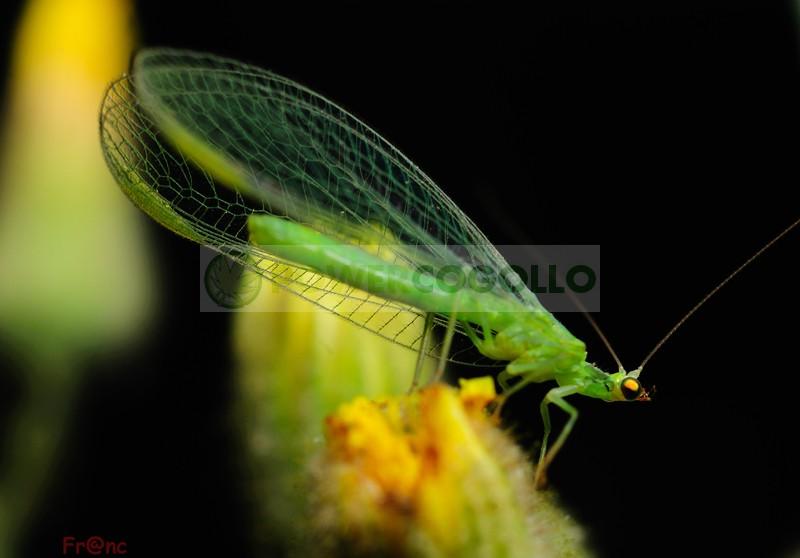Chrysoperla (contra Pulgón lucha biológica para combatir plagas en el cultivo 0