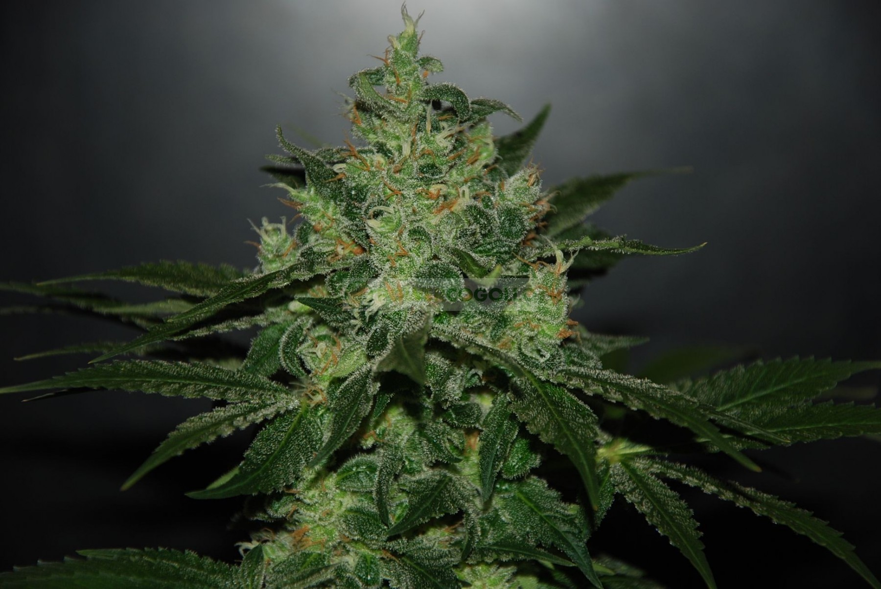 Critical Jack Herer Auto (Delicious Seeds) 0