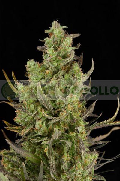 Critical+ Autoflowering Semilla (Dinafem)Critical+ Autoflowering Semilla (Dinafem) 2