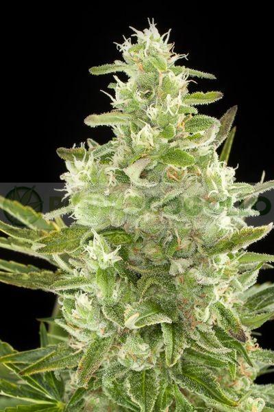 Critical+ Autoflowering Semilla (Dinafem) 1