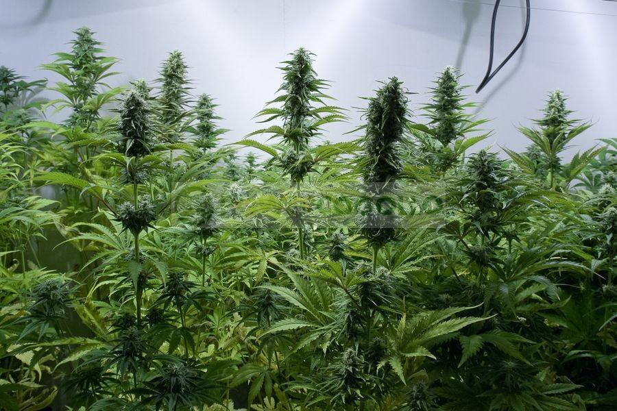 Critical Jack (Dinafem) Semillas de Marihuana Feminizadas  1