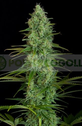 Critical Jack (Dinafem) Semillas de Marihuana Feminizadas  3