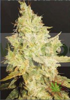 CRITICAL KALI MIST (DELICIOUS SEEDS) 0