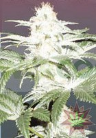 Critical Yumbolt (Delicious Seeds) 1