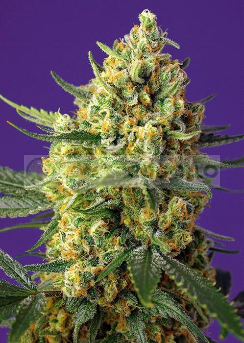 Crystal Candy XL Auto Feminizada (Sweet Seeds) 0