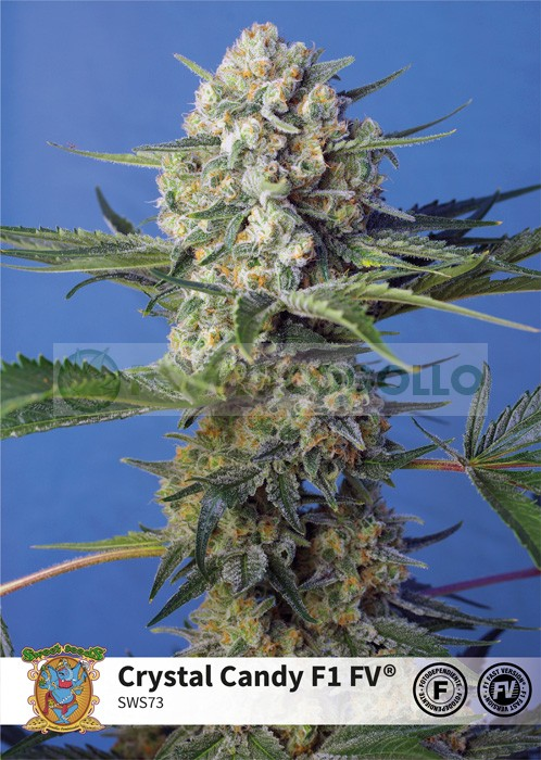 Crystal Candy F1 Fast Version (Sweet Seeds)-5 (Semillas 0