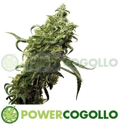 Semilla Cannabis Dark Delight (Dutch Passion) Barata 0