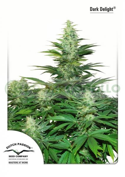 Semilla Cannabis Dark Delight (Dutch Passion) Barata 1
