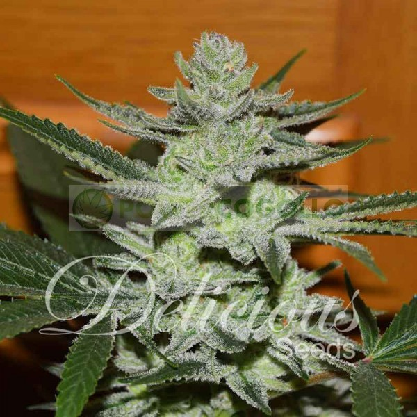 Desconocida Kush (Dellicious Seeds) Semilla Feminizada 0