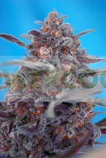 Devil Cream (The Red Family) Sweet Seeds Semillas Feminizada Autofloreciente 0