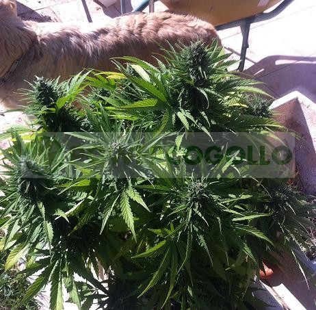 Auto Pack 6 Semillas (Biohazard Seeds) Feminizadas Cannabis-Marihuana Autofloración 2
