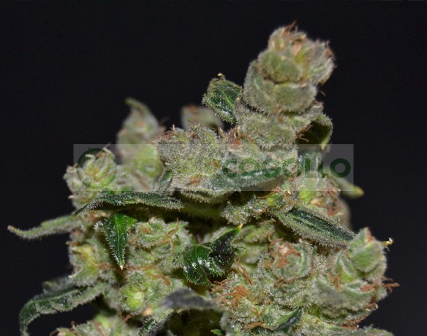 Diesel de Cbd Seeds Semilla Cannabis Feminizada 0