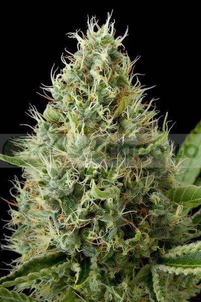 Dinamex (Dinafem) Semilla Feminizada de Marihuanav 1