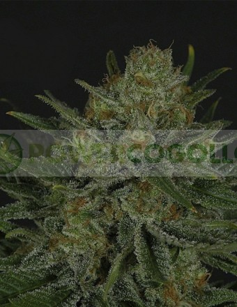 Double Glock (Ripper Seeds) Semilla Feminizada de Cannabis 0