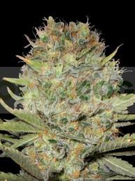 Semilla Dubble Gum (Profesional Seeds) Feminizada Cannabis 0