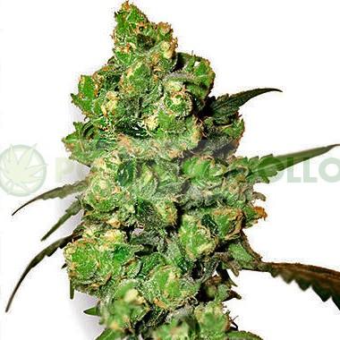 Durban (Sensi Seeds) Regular 1