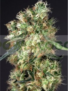 Dutch Haze (Dutch Passion Seeds) 0