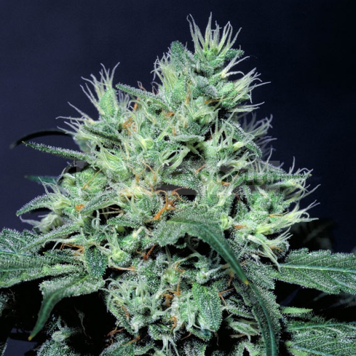 Dutch Dragon (Paradise Seeds) Feminizada 3