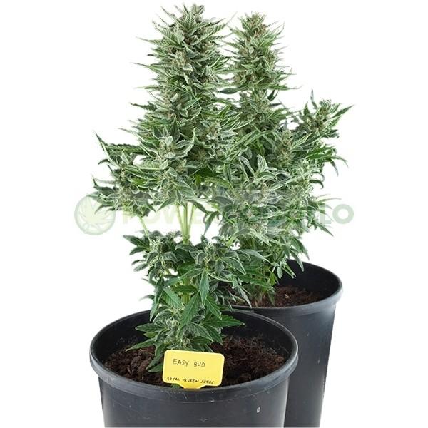 Easy Bud Autofloreciente (Royal Queen Seeds), Semilla 1