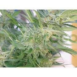Élite 47 (Elite Seeds) Semilla Feminizada Cannabis- 0