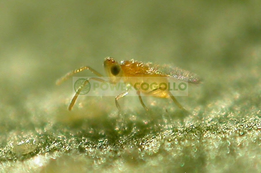 Lucha biológica Eretmocerus Eremicus (contra Mosca Blanca)  1