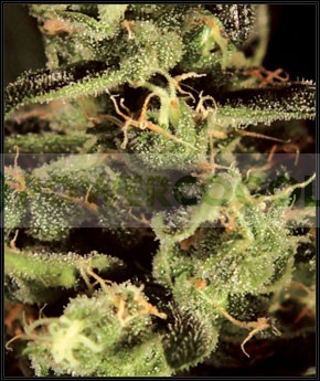 Exodus Cheese (Greeen House) Semilla Cannabis 100% Feminizada 1