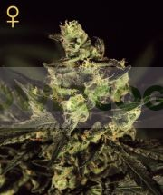 Exodus Cheese (Greeen House) Semilla Cannabis 100% Feminizada 0