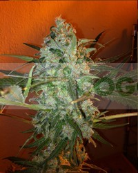 King Kong Five (Mano Verde Seeds) Semilla Feminiza Cannabis-Marihuana 0