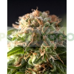 Fresh Candy (Pyramid Seeds) 0