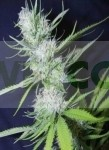 Fruit Spirit (Royal Queen Seeds) Semilla Feminizada Marihuana Fruit Spirit (Royal Queen Seeds) La Semilla Fruit Spirit es un híbrido de Blueberry y White Widow. Tiene un gran aroma, sabor y color.  Sabor intenso de White Widow y el olor de las bayas de ar 0