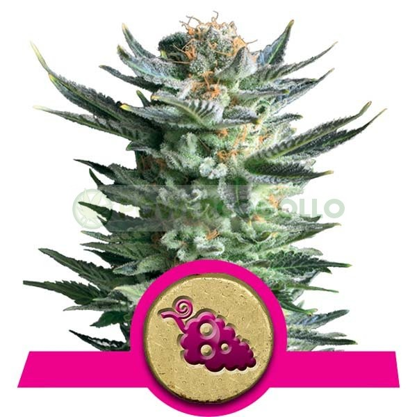 Fruit Spirit (Royal Queen Seeds) Semilla F 1