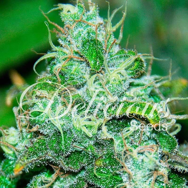 Fruity Chronic Juice (Delicious Seeds) Semilla de Cannabis Feminizada 1