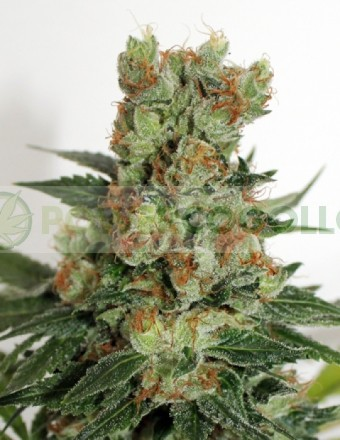Fuel Og (Ripper Seeds) 0
