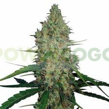 G13 Haze (Barney´s Farm Seeds) 1