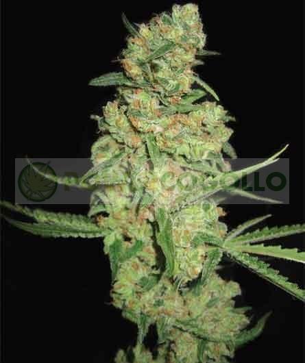 Galaxy (Pyramid Seeds) Semilla Feminizada de Marihuana 0