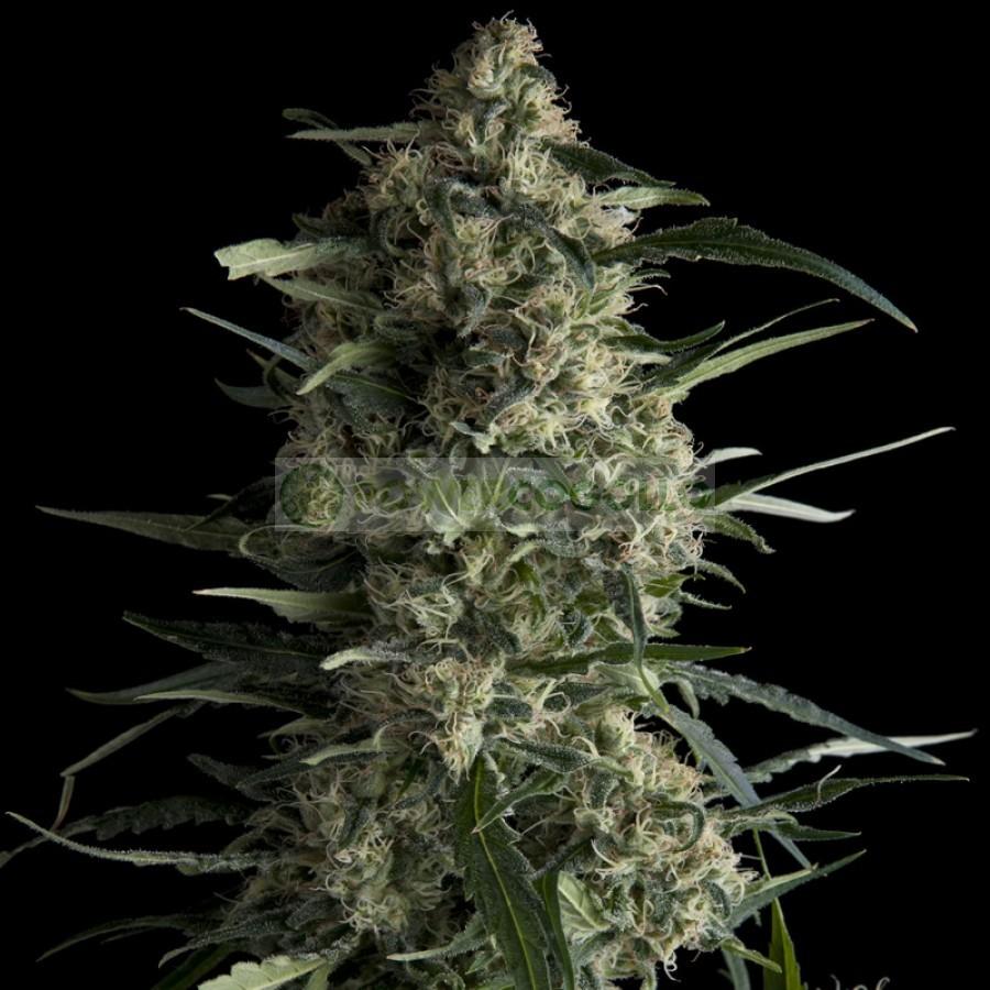 Galaxy (Pyramid Seeds) Semilla Feminizada de Marihuana 1
